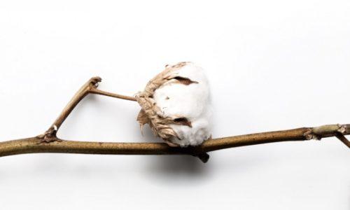 Fleur de coton en vitrine