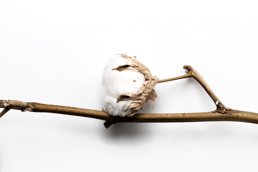 Une fleur de coton capturée par nos soins